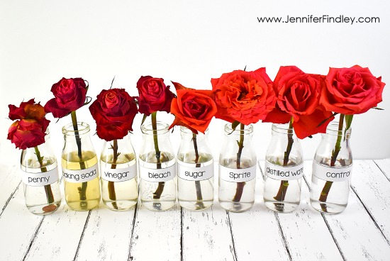 Which liquid substances will keep the flowers the freshest? Read more and grab free printables and a reading passage to complete this science experiment with your 4th and 5th graders.